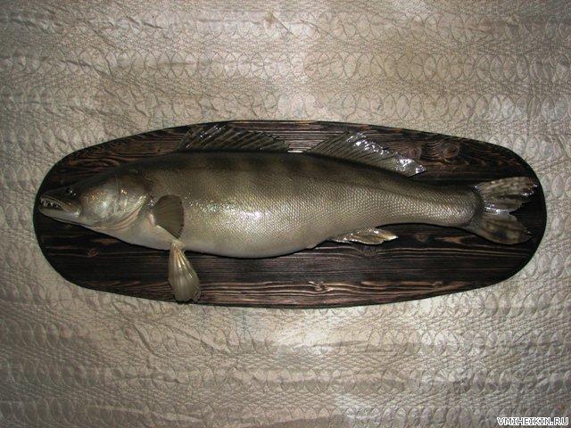 Чучела рыб, изготовление чучел, чучело Судака, Таксидермия рыб
